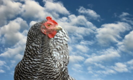 Hens Are So Wise Because…